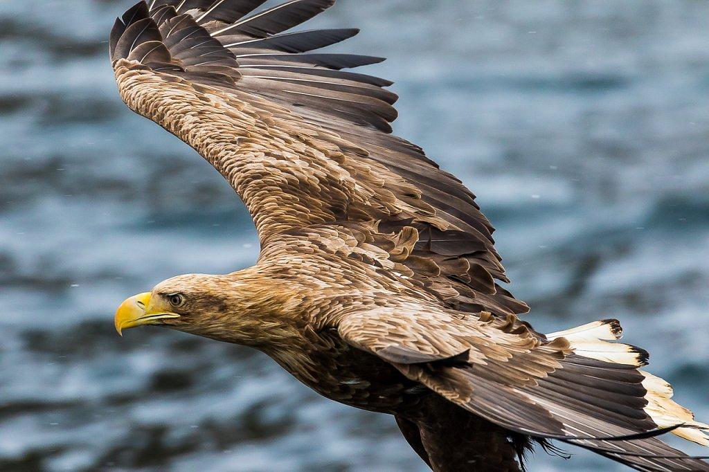 Seeadler ∙ Sea Eagle