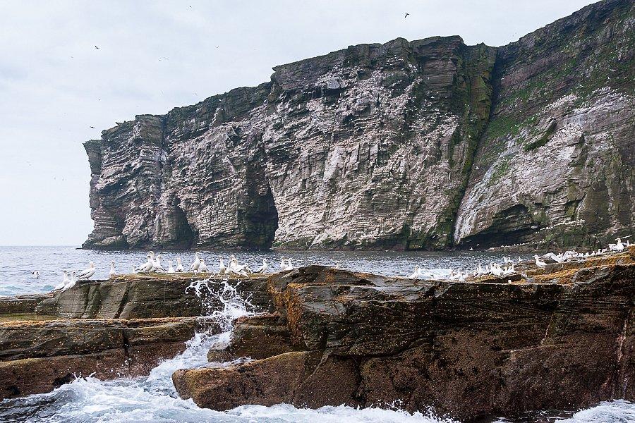 Basstölpel ∙ Gannets, Isle of Noss